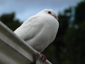 Dotti the dove